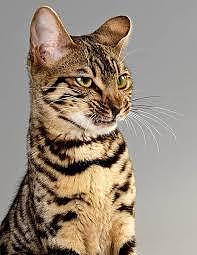La castrazione e sterilizzazione dei gatti
