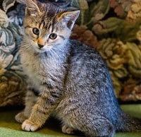 FIP- Peritonite Infettiva del Gatto