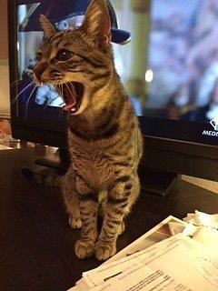 Diarrea del gatto