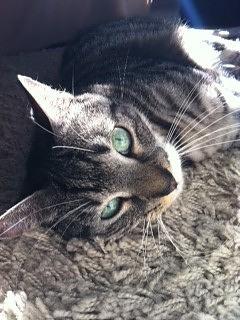 Sintomi di insufficienza cardiaca cronica nei gatti
