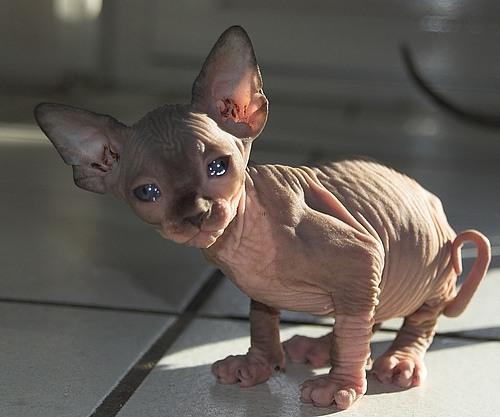 gatto malato e brutto