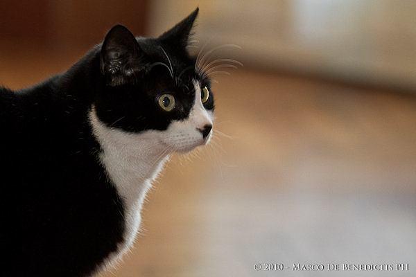 una gatta con una nera macchia