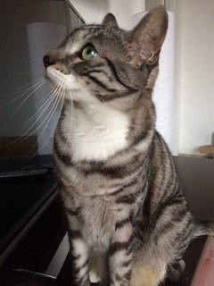 bellissima gatta tigrata