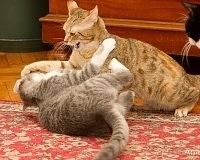 il combattimenti e litigi tra i gatti