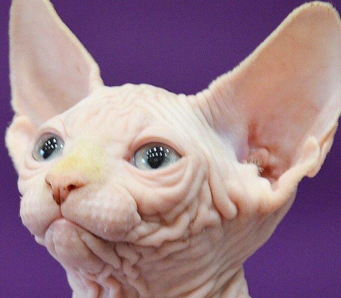 Immagini gatti - Sphynx gatto senza pelo
