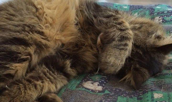 Gatti imitano abitudini del padrone