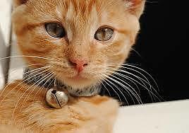 il collare del gatto