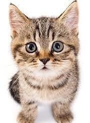gattino è un bocciolo di rosa