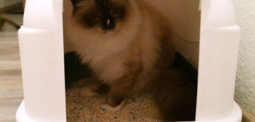 Gatto in una lettiera per gatti chiusa