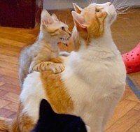 comportamento e aggressività gatti
